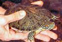 Do Red-Eared Slider Turtles Make Good Pets?
