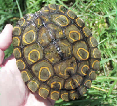 Picture of a Ringed Map Turtle, Graptemys oculifera