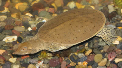 Picture of a Spiny Soft-Shell Turtle