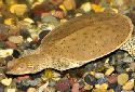 Animal-World info on Spiny Soft-shelled Turtle