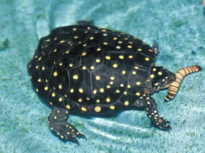 Picture of a Spotted Turtle, Clemmys guttata
