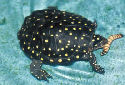 Animal-World info on Spotted Turtle