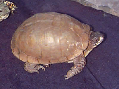 Picture of a Three-toed Box Turtle, Terrapene carolina triunguis