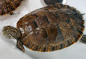 Animal-World info on Painted Turtle