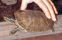 Picture of a Western Painted Turtle, Chrysemys picta bellii