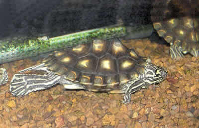 Picture of a Yellow-blotched Map Turtle, Graptemys flavimaculata