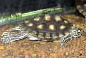 Animal-World info on Yellow-blotched Map Turtle
