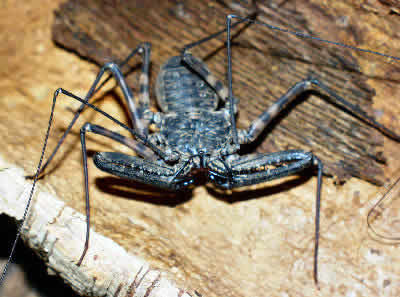 Tanzanian Giant Tailless Whip Scorpion, Damon variegatus, Giant Tailless Whip Scorpion, African Whip Spider