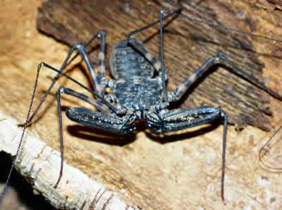Tanzanian Giant Tailless Whip Scorpion, Damon variegatus, Giant Tailless Whip Scorpion, African Whip Spider