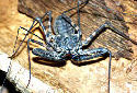 Animal-World info on Tanzanian Whipscorpion