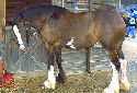 Click for more info on Clydesdale