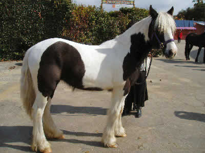 This Gypsy Vanner has very attractive horse coat colors