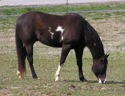 Paint Horses, Picture of an American Paint Horse
