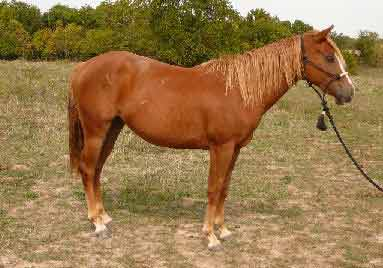 Quarter Horse, Pictures of an American Quarter Horse