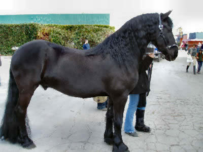 Friesian horse picture photo