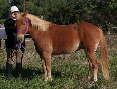 Haflinger, Picture of a Haflinger Horse