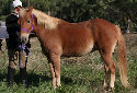 Animal-World info on Haflinger