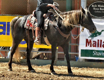 Kentucky Mountain Horse, Picture of a Kentucky Mountain Saddle Horse