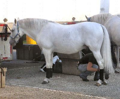 Lipizzaner, Picture of a Lipizzaner Stallion