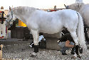 Animal-World info on Lipizzaner