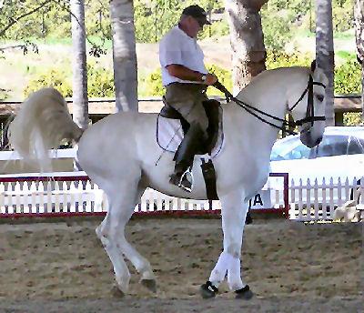 Lusitano, Picture of a Lusitano Horse