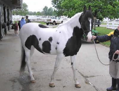 Marwari, Picture of the Marwari Horse