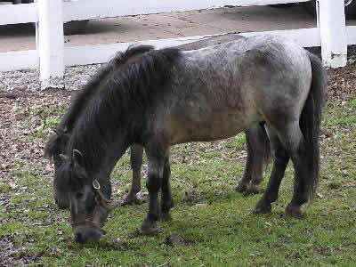 Miniature Horses, Picture of a pair of Miniature Ponies