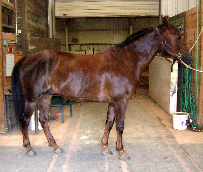 Family: Equidae Morgan Horse, Picture of a Morgan
