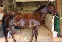 Animal-World info on Morgan Horse