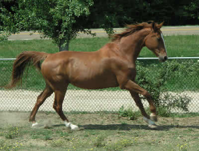 Light Horse breeds, Information about hot-blooded and warmblood light horses