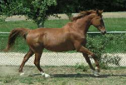 Picture of an Odenburg Horse