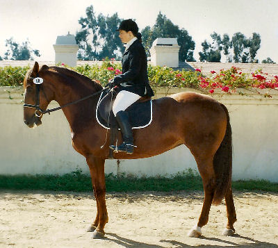 Selle Francais, Picture of a Selle Francais Show Jumping Horse
