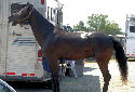 Animal-World info on Tennessee Walking Horse
