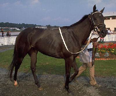 Thoroughbred, Picture of a Thoroughbred
