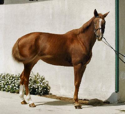 Trakehner, Picture of Trakehner Horses
