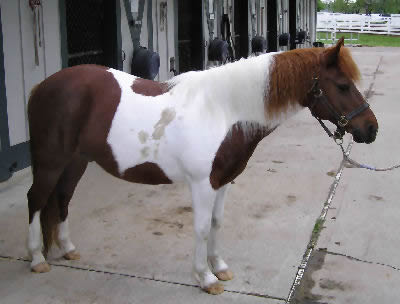 All about pony breeds, miniature horses information and care
