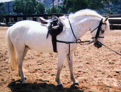 Picture of a Pony Of The Americas