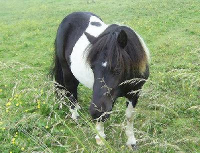 Shetland Pony, Pony Pictures of the Shetland Ponies