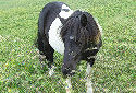 Click for more info on Shetland Pony