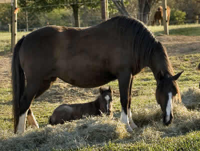Horse breeding and reproduction from mating to baby horses