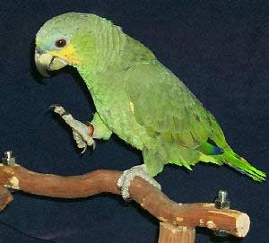 Orange-winged Amazon Parrot, Choosing A Pet Bird - What is the right bird for me?