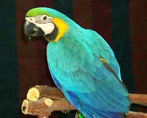 Blue and Gold Macaw, Bird Information - Types of Birds and Bird Identification