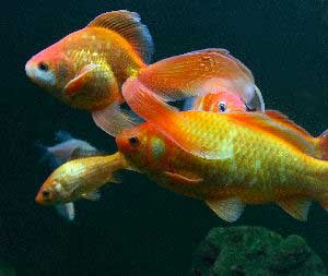 Beautiful fancy goldfish with proper goldfish care!