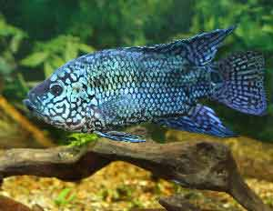 Proper fish care for a healthy Jack Dempsey
