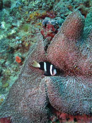 Clarkii Clown Fish or Banded Clownfish with a Saddle Anemone