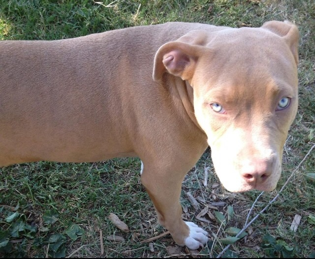Red-Nosed American Pit Bull Terrier, Dog Breed Guide ...