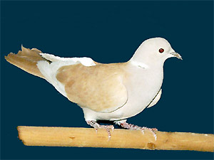 More about Pigeons and Doves